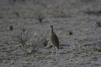 Cream-coloured ( Somali) Courser