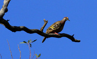 The excellent  Common Bronzewing.
