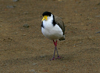 The bizarre  Masked Lapwing....possibly  looking the worse for wear!