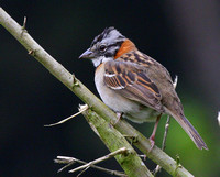 Let's start with everyone's favourite...Rufous-collared ( or Satan's!!) Sparrow