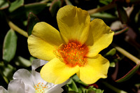 Portulacas do well in the Spanish sun.