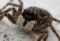 Jumping spider...close up !!