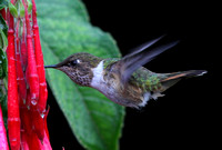 The Scintillant Hummingbird again