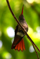 The ubiquitous, aggressive  but rather smart Rufous-tailed Hummingbird.