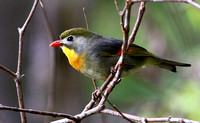 "Another introduction...Red-billed  Leiothrix or ""Pekin Robin""."