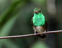 Glittering-throated Emerald.