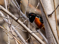 ...and a  smart  Spotted Towhee.