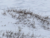 Looking for a  white bird in snow at distance is difficult....there are two here....I think !