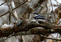 ...and out first endemic, Angolan Batis.