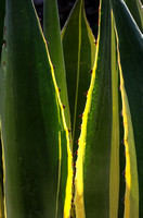 A variegated Agave americana
