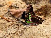 Butterflies are fortunately still numerous in Myanmar
