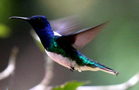 Colombia  must be the Hummingbird  capital...we  saw  44 species! This is a  White-necked Jacobin......