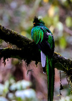 .....the National Bird of Guatemala....