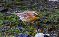 Siberian Accentor, Easington.