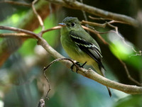 The first Empid !!...Yellow-bellied  Flycatcher.